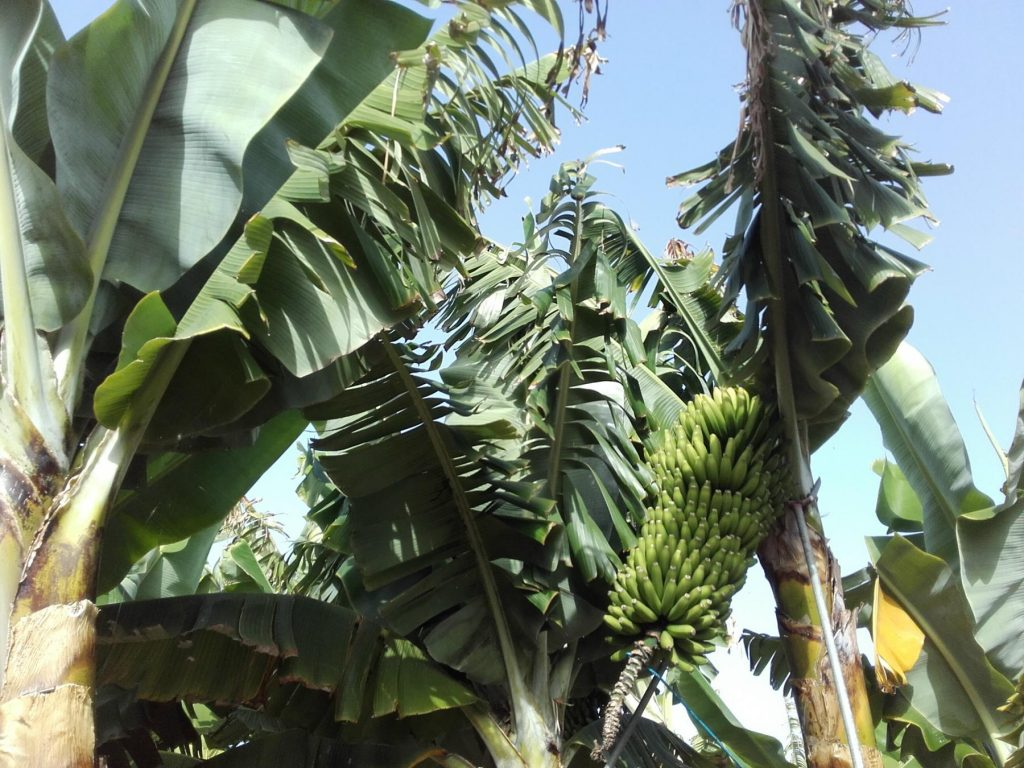 Bananen auf La Palma