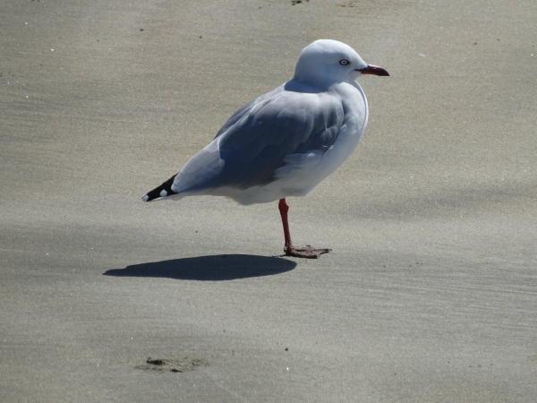 Vogel am Strand - Waiheke Island