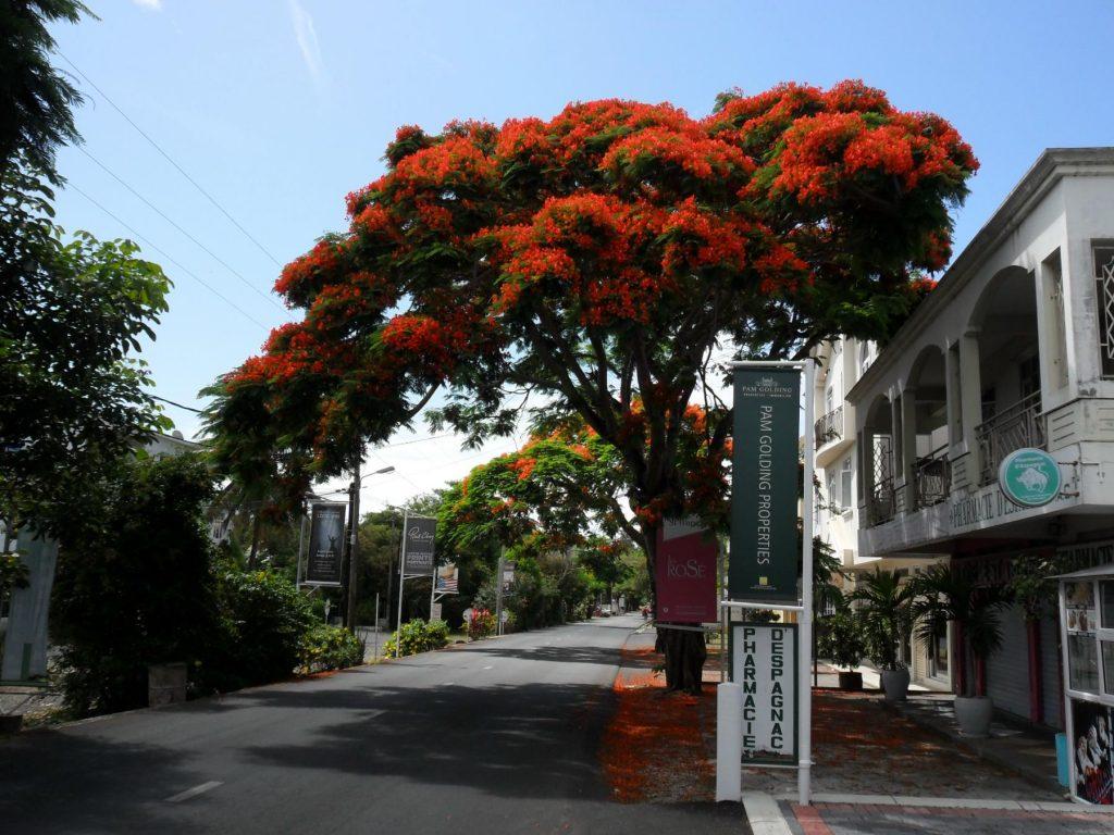 Flamboyant in der Nähe von Grand Baie Mauritius