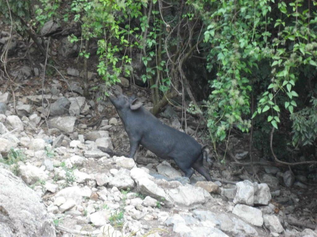 Wildes Hausschwein auf Korsika