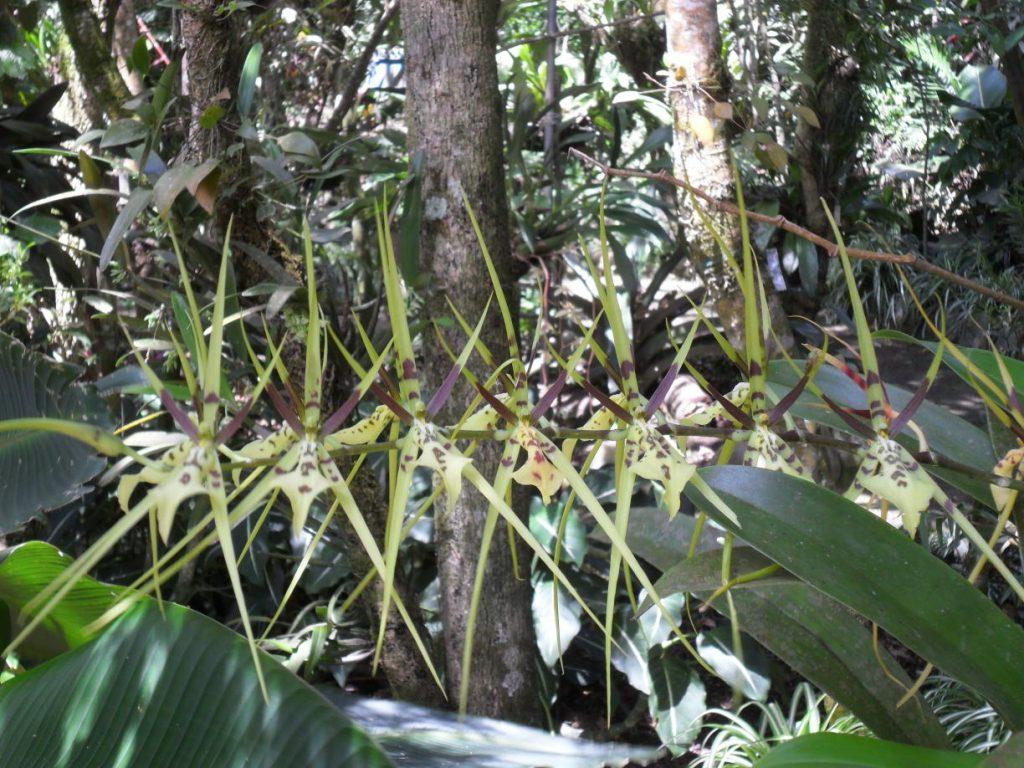 Spider-Orchidee in Santa Elena/ Monteverde in Costa Rica