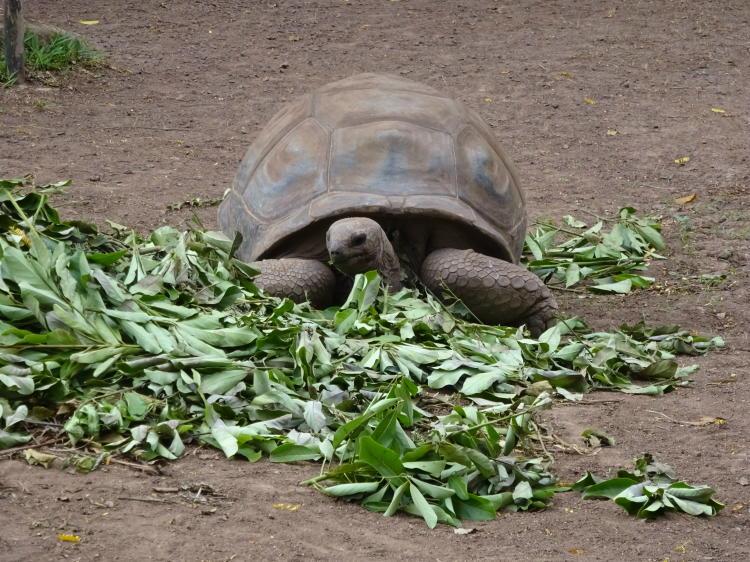 Schildkröte - Chamarel